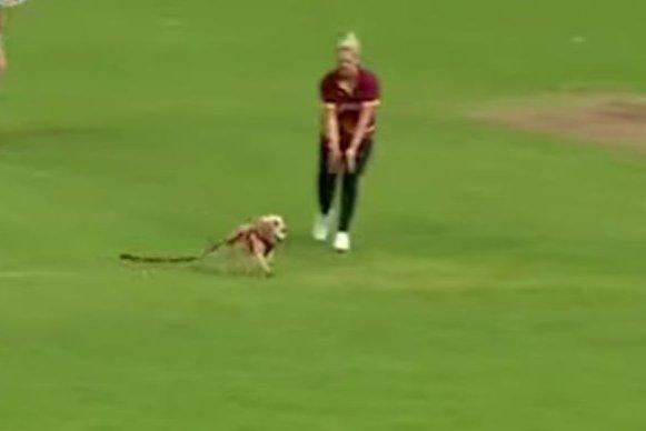 Watch: Dog steals ball during cricket match in Ireland
