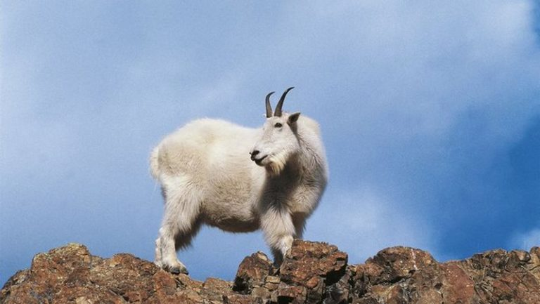 Tiny mountain goat with horns kills bear in self-defence