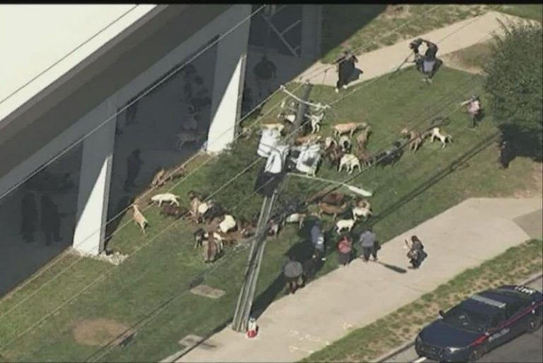 Watch: Herd of escaped goats wanders through Georgia town