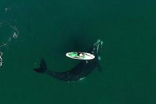 Watch: Southern right whale gives paddleboarder a push in Argentina