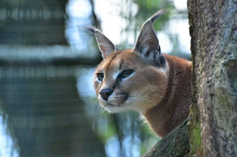 African caracal on the loose after escape from Michigan home