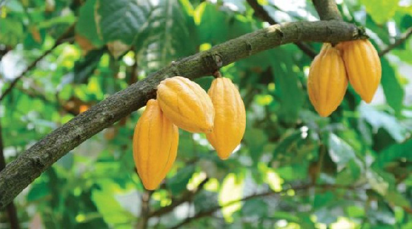 Climate change-induced heavy rainfalls threatens cocoa production