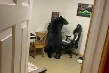 Watch: Bear wanders into house, breaks computer monitor