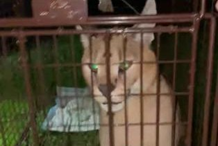 Watch: Escaped African caracal cat safely recaptured in Michigan