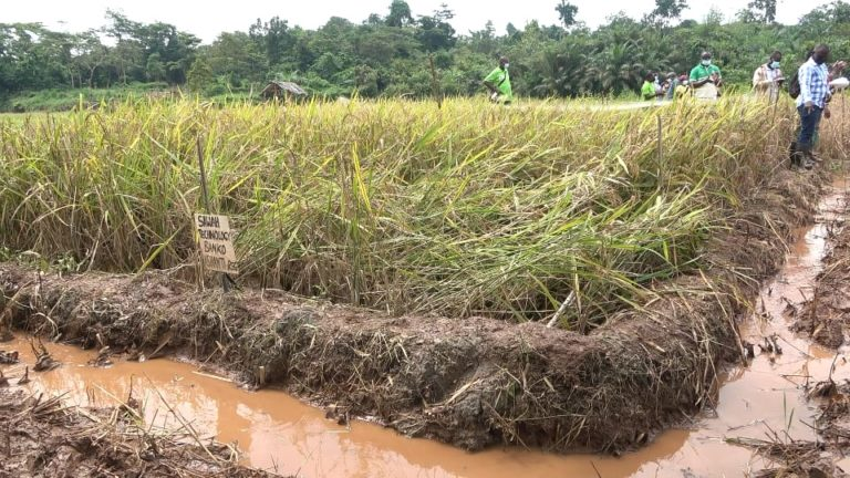 CSIR researchers urge government to invest in Sawah Technology to boost rice production