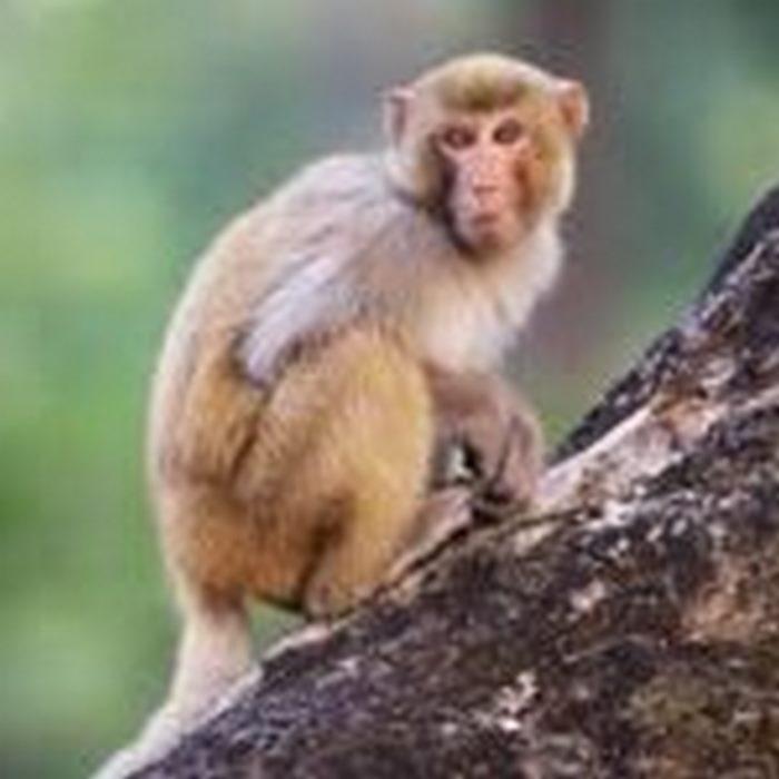 Heartbreaking moment baby monkey clings to dead mum as she's eaten by a lion